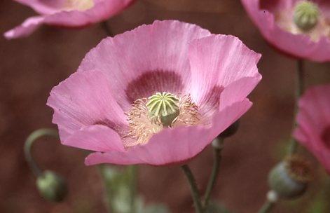 Pink poppy. by polis_928tadw59