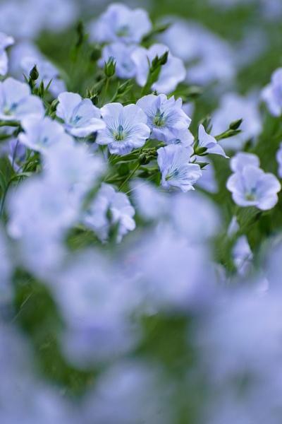 Linseed Flower by Kim Walton