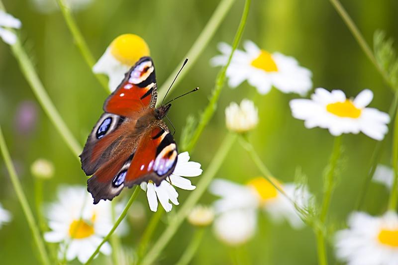 Butterfly in a daisy meadow