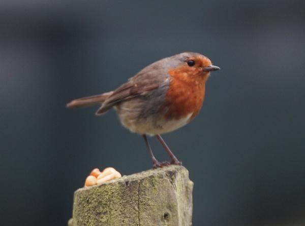 red red robin! by weg8877