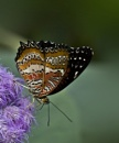 Malay Lacewing by beckybookins