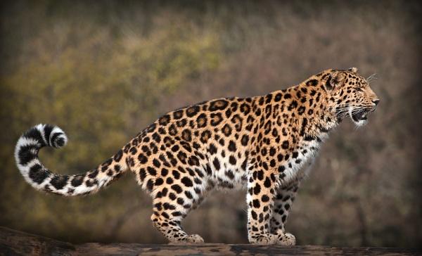 Amur Leopard II by Franko59