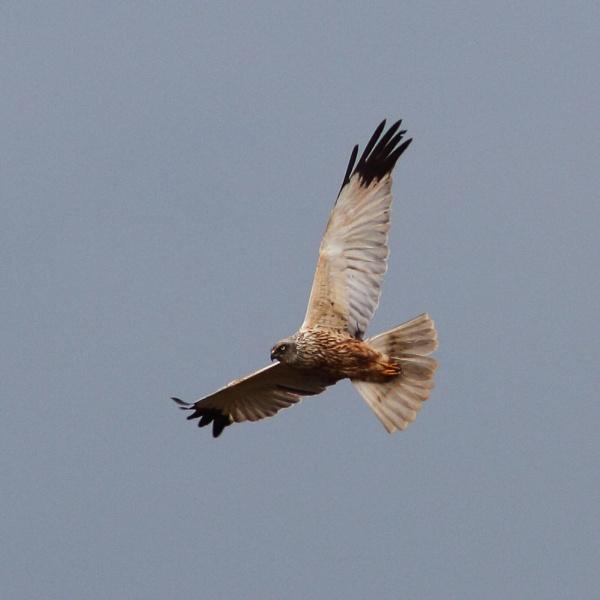 Marsh Harrier by PaulB45