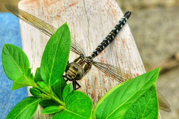 Dragon Fly by clickon