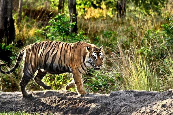 tiger by sarasij