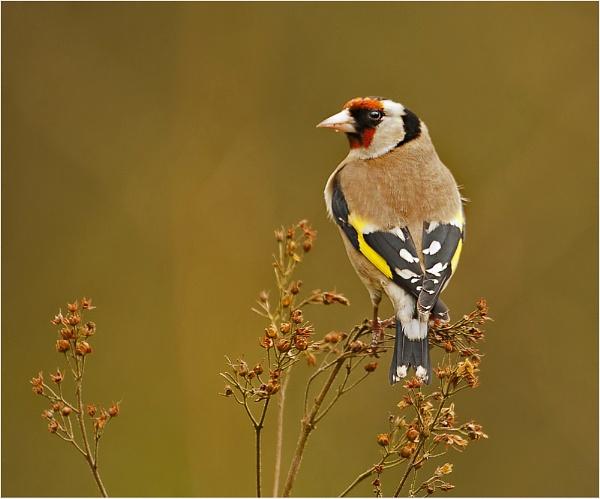 Goldfinch by MossyOak