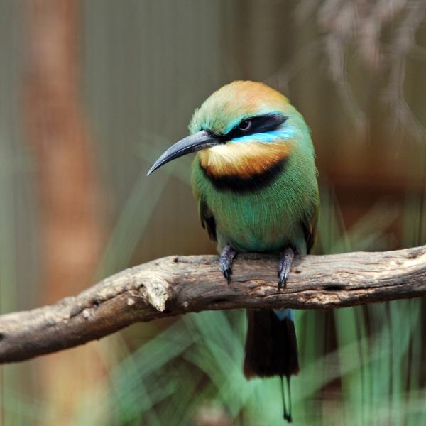 Rainbow bee-eater by Hulme