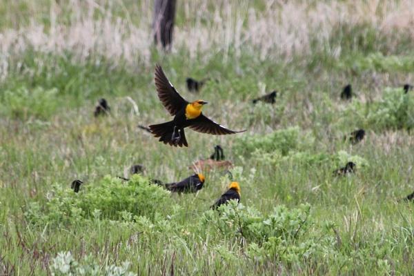 Yellow Headed Blackbirds by Mbopp50