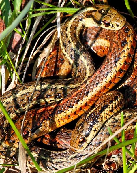 Snakes springtime  Menange a trois by tonyguitar
