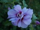 pretty in pink by gazlowe