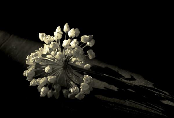 Faded wild Garlic bloom by exposure