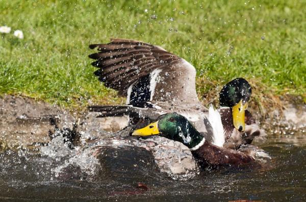 Male Mallards sparring by neil john