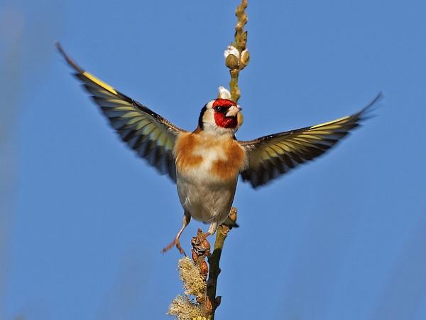 Goldfinch by skewey