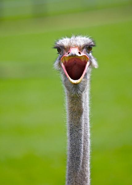 Ostrich by StephenBrighton