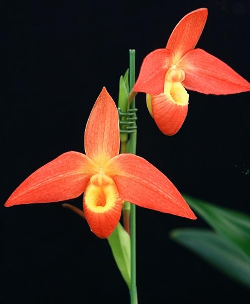Orchid Phragmipedum by adrian_w
