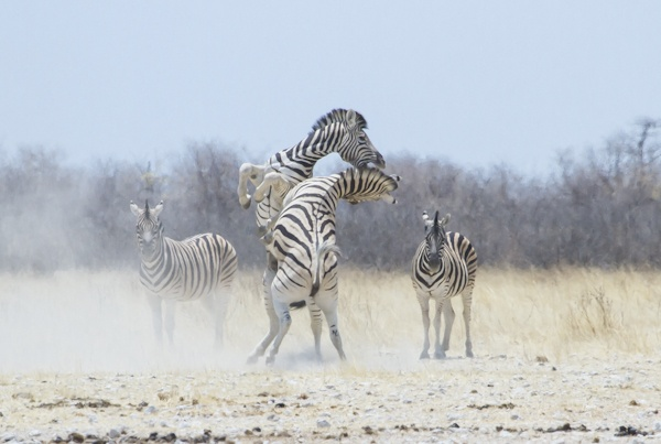 Zebra conflict by davemck