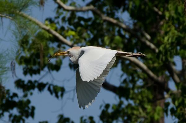Egret Nest Building by Kruger01