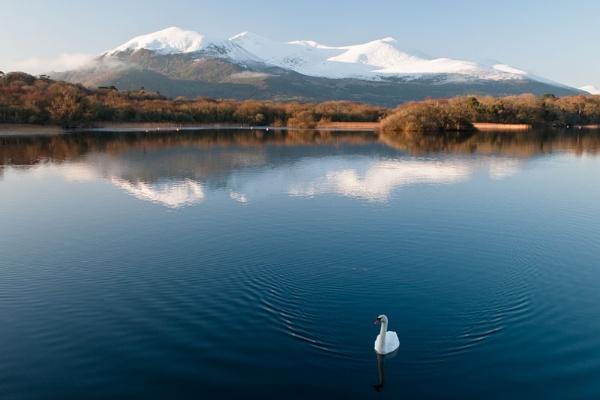 A Lone Swan by Paul1