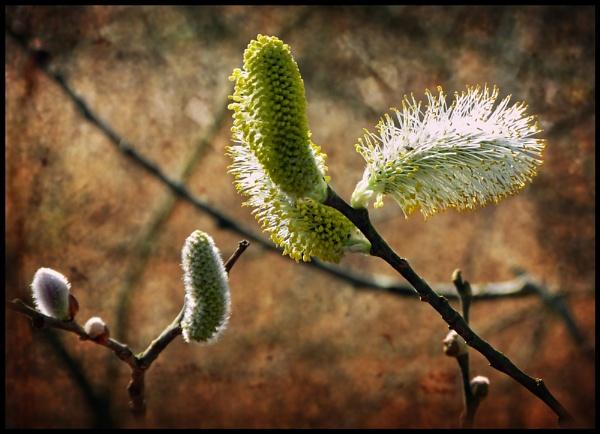Pussy Willow. by Niknut