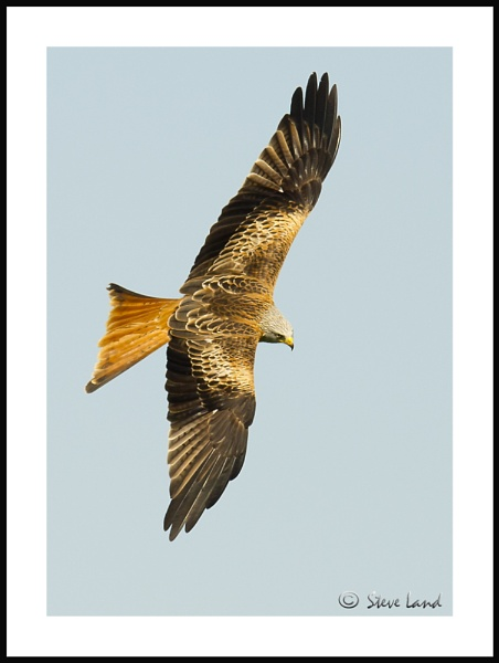 Red Kite by Redpoll