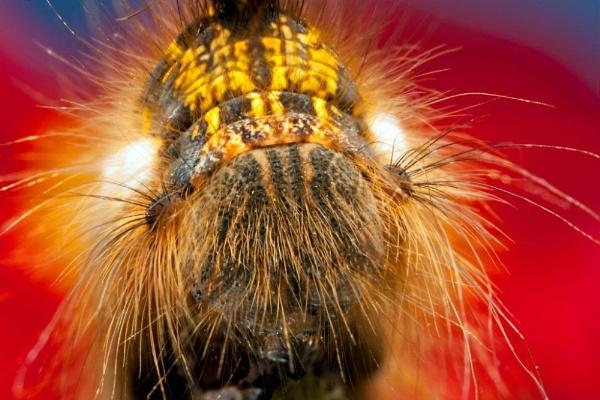 First Caterpillar of Spring by irishdomo1