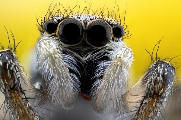 Jumping Spider (Salticus scenicus) by KTrueman