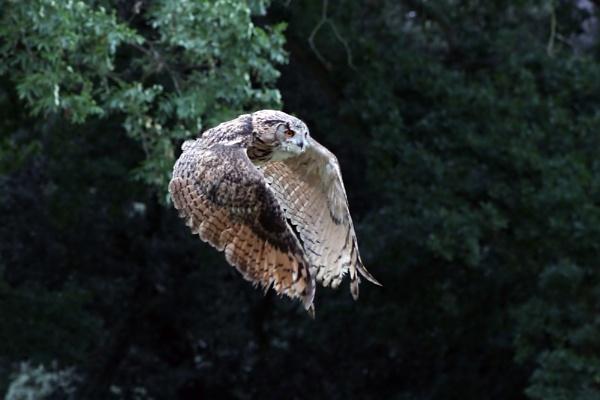 Owl in Flight by lostnspace2011