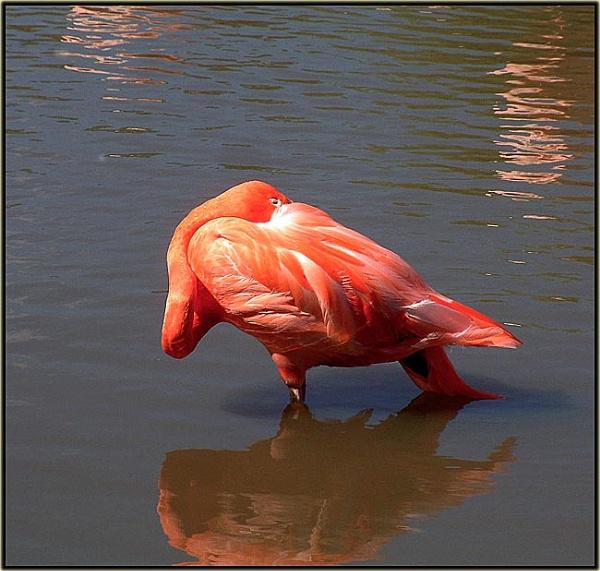 Shy Flamingo Slimbridge by hattrick