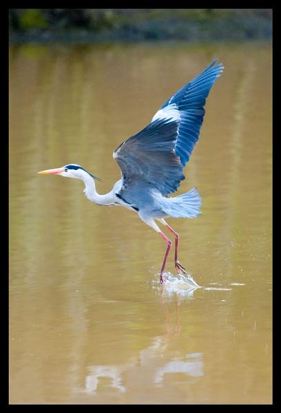 Heron Hunting No.1 by BigRick