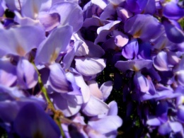~ Purple Lilacs ~