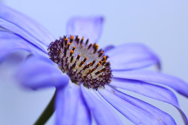 Lilac Senetti by MandsH
