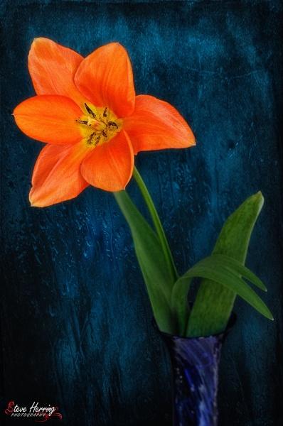 Orange Tulip. by sherring