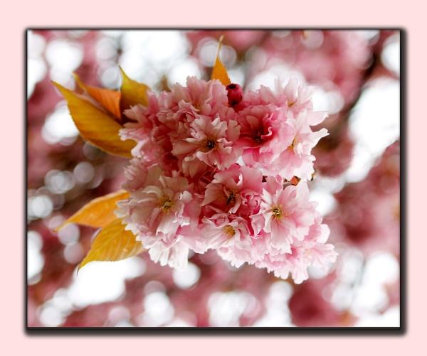 Cherry Blossom by delboy1145