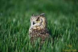 Bengal Eagle Owl in the crop field