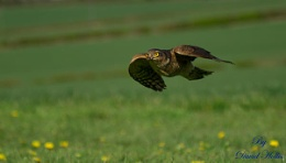 sparrowhawk  at speed