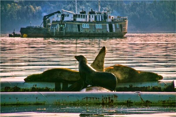 Suntanning Sea Lions by Daisymaye