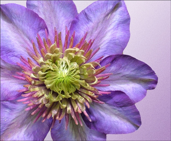 Clematis by Val Prowse