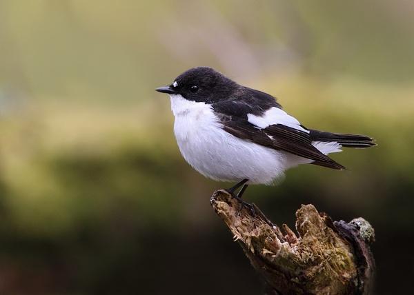 Pied Flycatcher by Karen_Summers