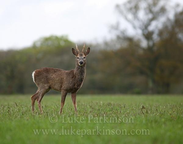 Roe Deer by LukeParkinson