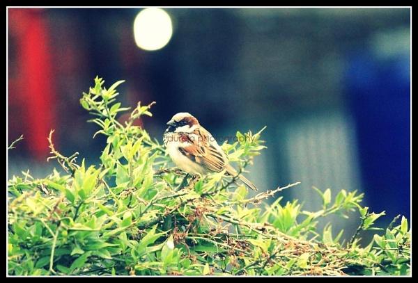 sparrow by Dureja