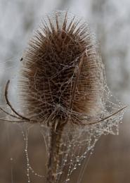 Teasel Web