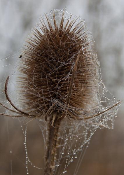 Teasel Web by ambercat