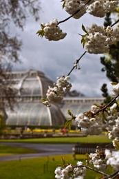 Blossom at Kew