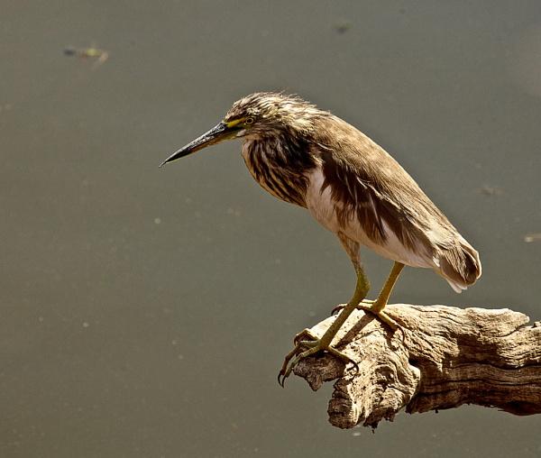 Pond Heron by alansnap