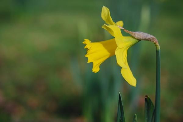 Daffodil by jinglis