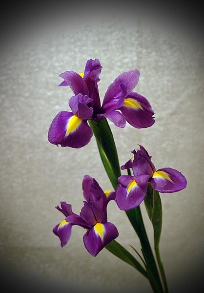 iris by gazlowe