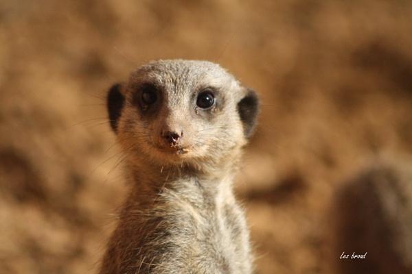 meerkat by lez68