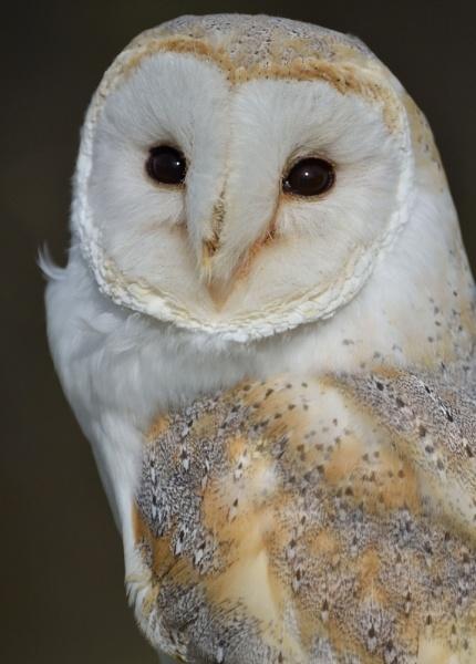 Barn Owl by Jennet_Miles
