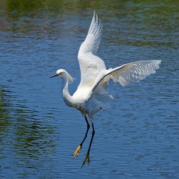 Great Egret Landing by Kruger01