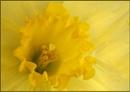 Daffodil by cameraman